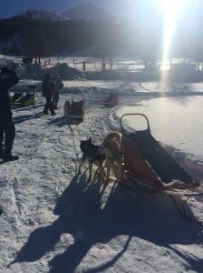 husky sledding